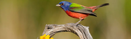 preview-painted-bunting_texas