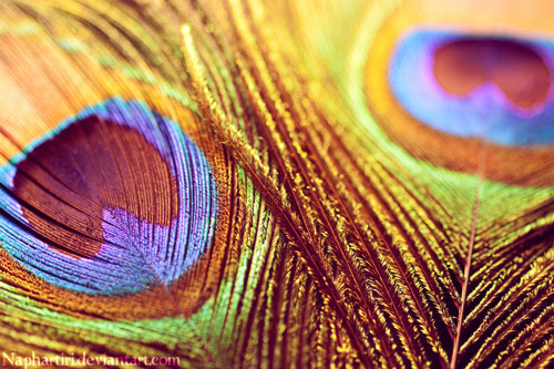 colorful peacock hd wallpaper 10