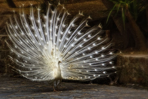 white peacock hd wallpaper 4