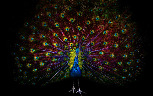 colorful peacock hd wallpaper 7