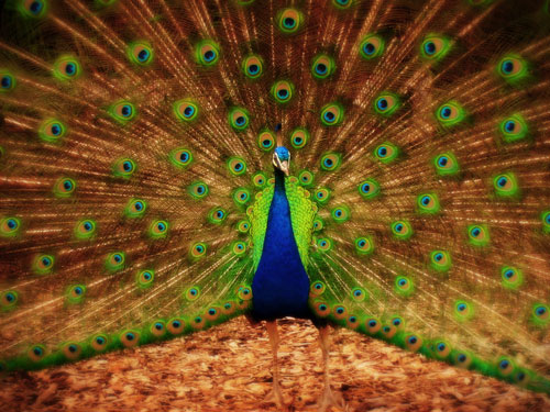 2012 Free HD peacock wallpaper 11